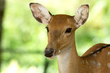 deer-closeup-head-whitetail-33729950